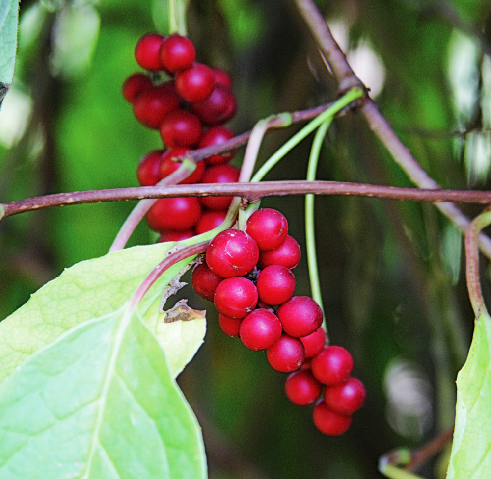 Schisandra-chinensis-berries